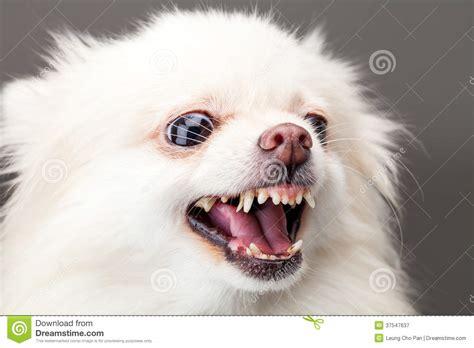 pomeranian barking white pomeranian barking royalty free stock photography image 37547637