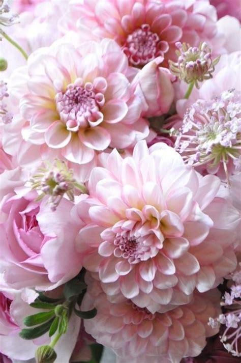 pink dahlias jpeg light pink dahlia www pixshark images galleries with a bite
