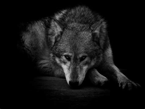 black and white wolf 29 hd wallpaper hdblackwallpaper com black wolf wallpapers 183