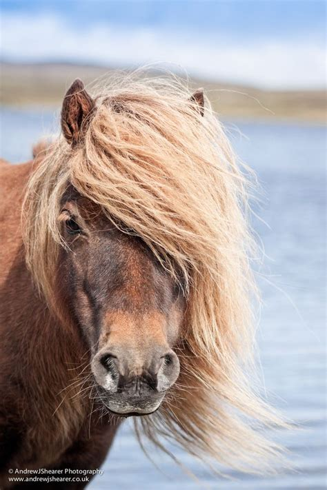 Miniatur Kuda Poni By Nicebags 1000 ideas about shetland ponies on ponies