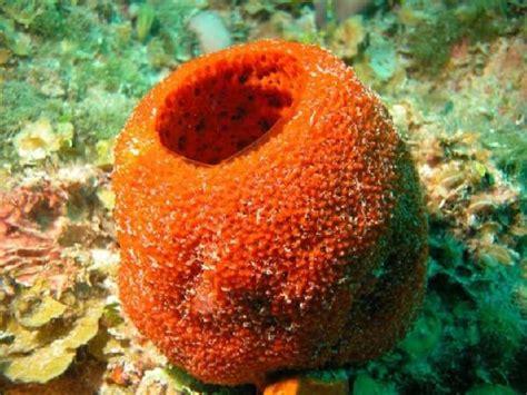 imagenes de animales poriferos que comen las esponjas de mar donde viven como nacen