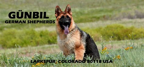german shepherd puppies denver pet friendly airlines we recommend