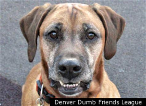 denver dumb friends league adoptable dogs denver animal adoption cats horses rabbits and dogs all available for adoption photos