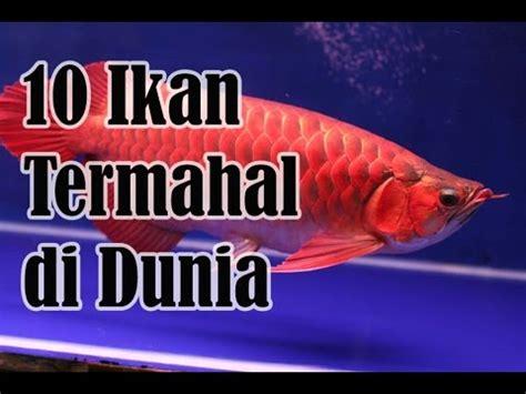 Pakan Ikan Louhan Paling Bagus 10 tips cara memelihara ikan louhan agar cepat jenong