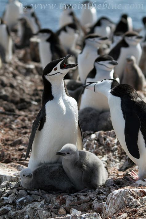 Chinstrap Penguin – Pygoscelis antarctica | two in the blue