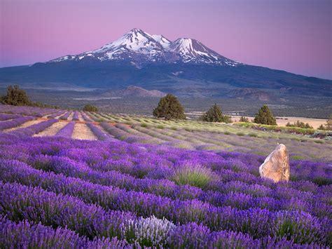 lavender farm free hd wallpapers page 0 wallpaperlepi