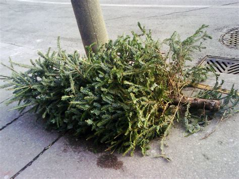 when will boston collect christmas trees for recycling