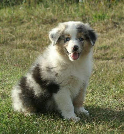 best food for australian shepherd australian shepherd puppy pictures puppy pictures and information