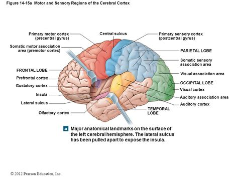 sensory and motor areas of the brain 14 the brain and cranial nerves ppt