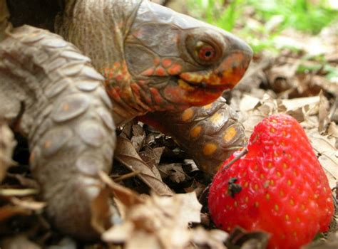 can my eat strawberries can turtles eat strawberries tips
