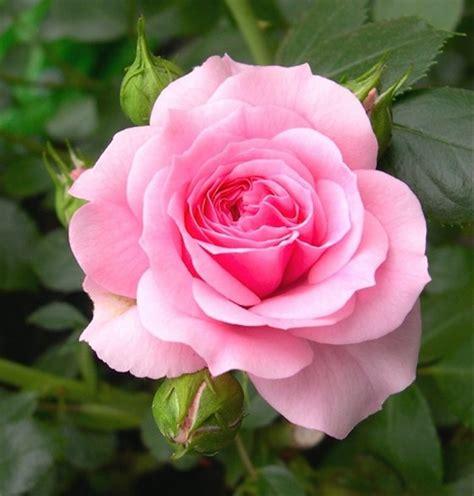 jual biji benih bibit bunga mawar pink pink rose  lapak