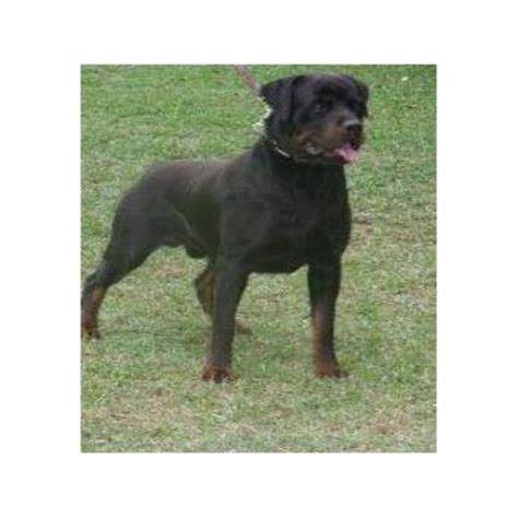 rottweiler puppies columbia sc rottweiler breeders in montana freedoglistings