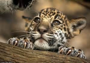 Pics Of Baby Jaguars Jacksonville Jaguars New Signing Makes