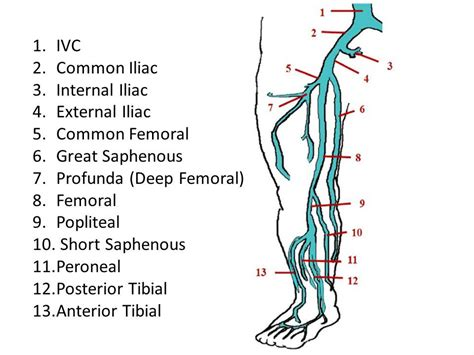 Calf Vein Anatomy