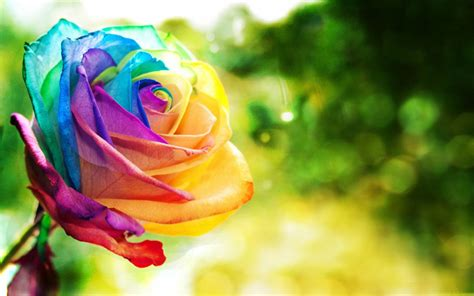 colorful roses wallpapers colorful wallpapers