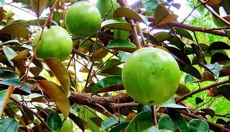 buah buahan legendaris  sukses menemani bahagianya
