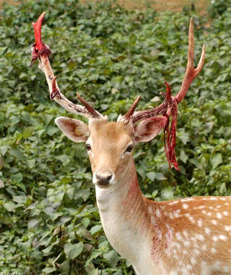 fallow deer cervus dama shedding velvet from antlers