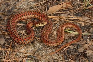 Garden Snake Nc Eastern Garter Snake Thamnophis Sirtalis From South