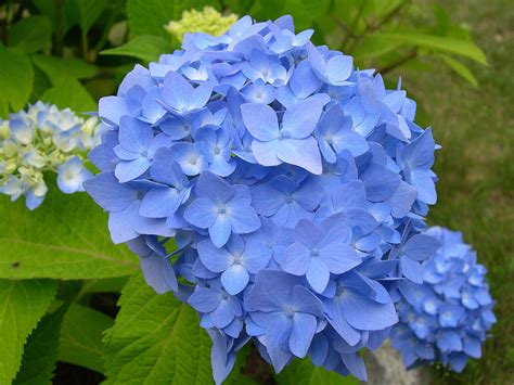 some of my blue flower pictures hydrangeas blue