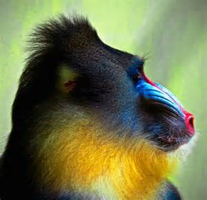 monkey with colorful mandrill color story 1 blue animals