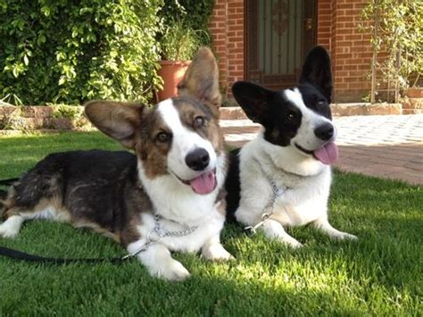 cojack puppies 17 best images about cojack on corgi mix puppies about me and read more