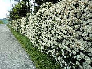 cespugli sempreverdi con fiori 10 piante da giardino come scegliere quelle giuste
