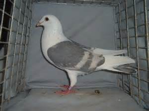 homing pigeons colored homing pigeons for sale pigeon talk