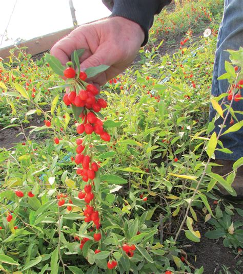 backyard berry plants the goji berry plant grow the alpha superfood in your garden countryside network