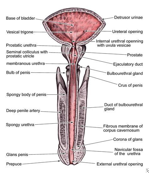 pelvic bone diagram pelvis diagram front view diagram of anatomy