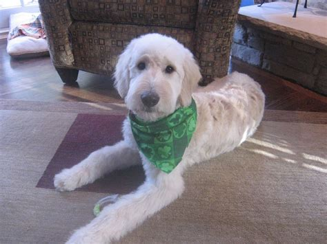 labradoodle grooming cuts picture 14 best goldendoodle haircut images on pinterest golden