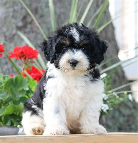 havapoo puppies for sale in pa and cuddly havapoo puppies craigspets