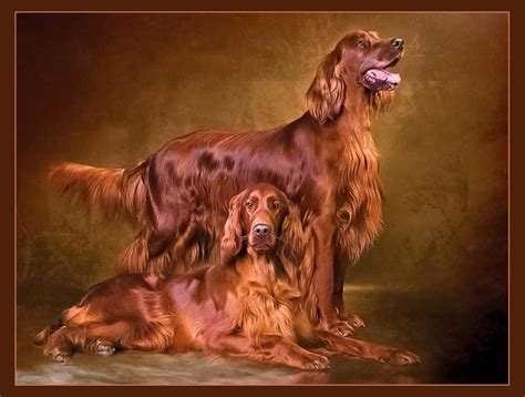 irish setter dog grooming 24 best dogs setters images on pinterest doggies red
