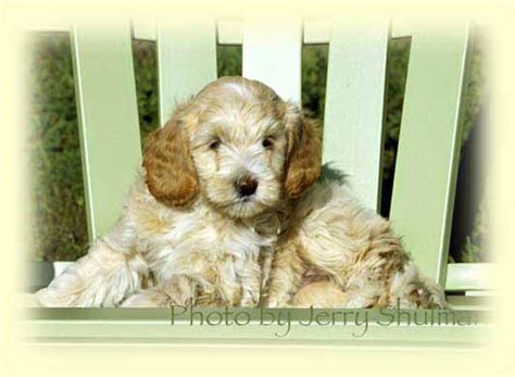 goldendoodle puppies for sale vancouver bc australian labradoodles puppies for sale vancouver