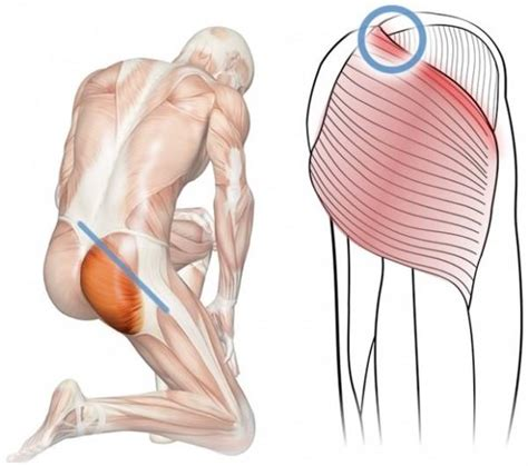 buttock muscles diagram no ifs ands or holistic health