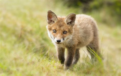 Cute Baby Fox Wallpaper   WallpaperSafari