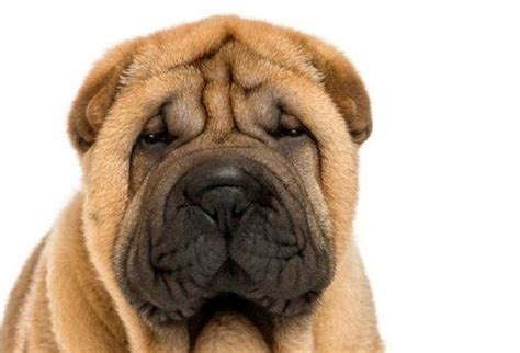 shar pei puppy cost shar pei pet insurance compare plans prices