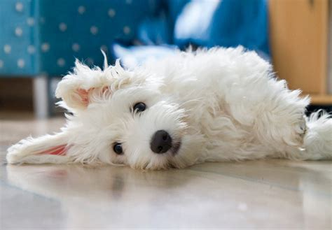 coton de tulear puppy coton de tulear puppies for sale akc puppyfinder