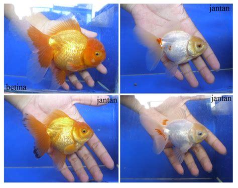 Pakan Ikan Koki Yang Baik cara budidaya ikan koki