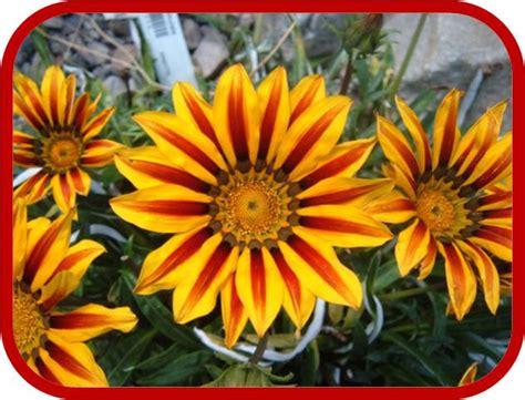 gazania fiore gazania coltivazione e cura