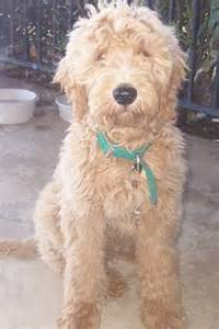 Goldendoodle puppies for sale adoption from alpine california san