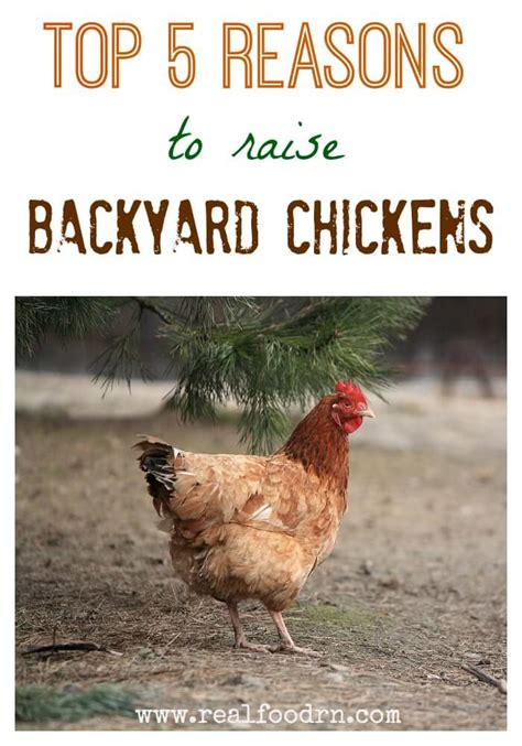 raise chickens in backyard top 5 reasons to raise backyard chickens