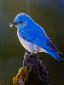 birds pictures amazing blue mountain bird photo from feast by brad hill h
