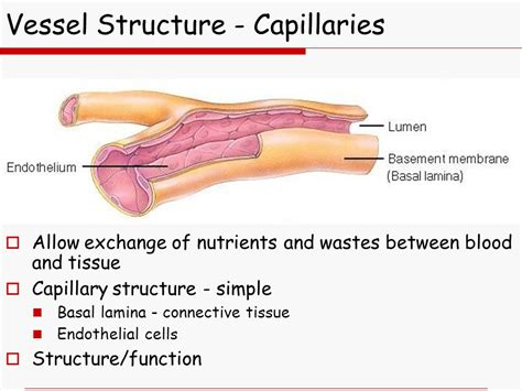 diagram of a capillary chapter 21 the cardiovascular system blood vessels ppt