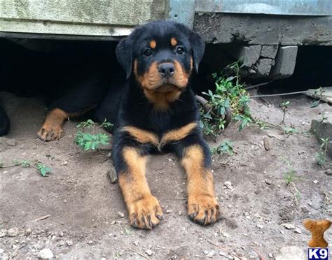 rottweiler puppies for sale florida rottweiler puppies for sale in florida
