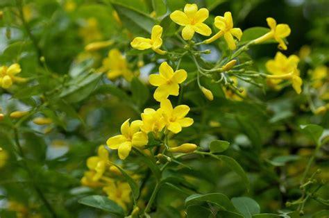 gelsomino giallo in vaso gelsomino giallo ricanti gelsomino giallo