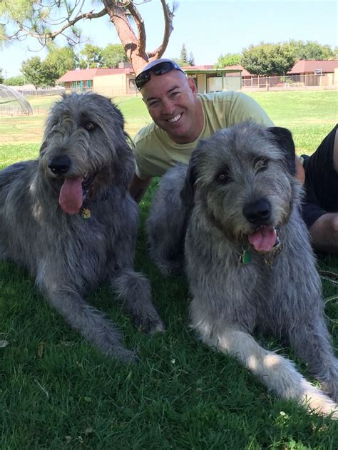 best large breeds wolfhound large breeds www pixshark images galleries with a bite