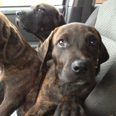 plott hound puppies 1000 images about future puppy o on plott hound bloodhound and great danes