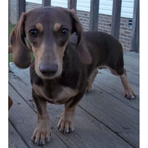 puppies in kentucky dachshund doxie breeders in kentucky freedoglistings