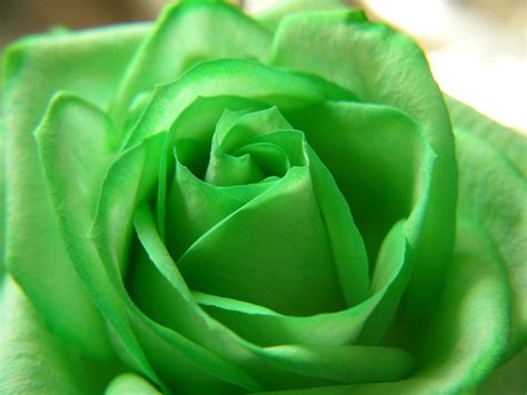 green rose themes nth green rose flowers 6936712