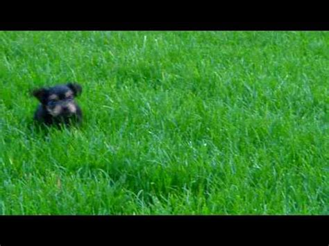 why is my yorkie grass yorkie puppy trying to run through the grass